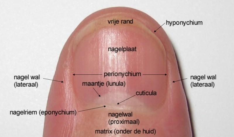 nail matrix