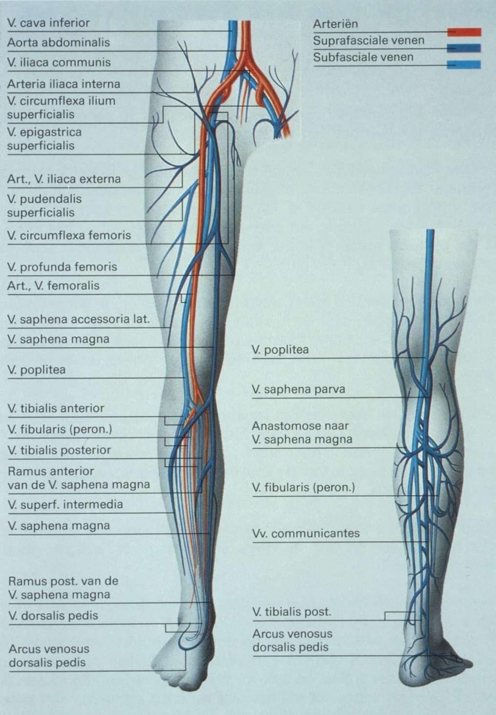 Beste V. Saphena Magna Anatomie Galerie - Physiologie Von ...