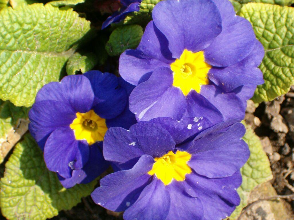 Allergie Planten Huid : Allergie voor primine primula patientenfolder