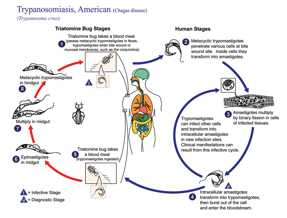 Trypanosomiasis American life cycle